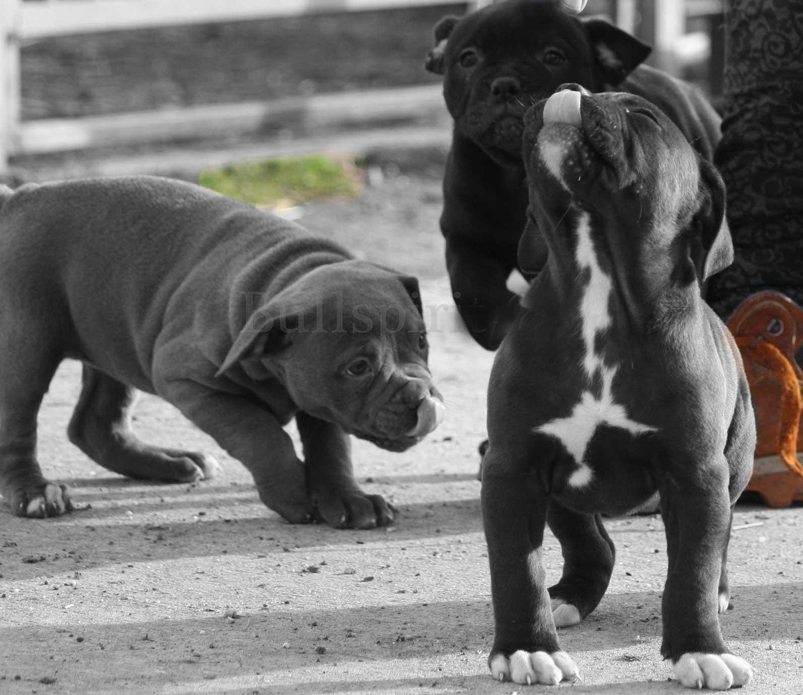 bullspirit-pups2
