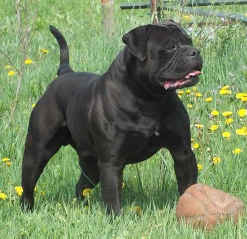 Black American Bulldogs Breeder Of American Bulldogs